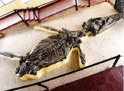 Kronosaurus boyacensis fossil (2)