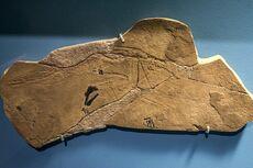 Preondactylus cast