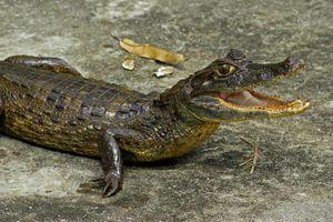 Крокодиловый очковый кайман