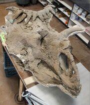 Kosmoceratops skull 02