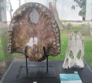 Purussaurus-i-chyornyj-kayman-m