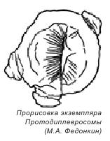 Протодиплевросома 2