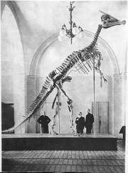 Скелет зауролофа в Палеонтологическом музее АН СССР