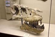 Tarbosaurus skull 05