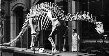 Dicraeosaurus at Museum für Naturkunde Berlin, 1937