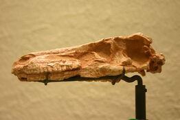 1024px-Saurornithoides mongoliensis