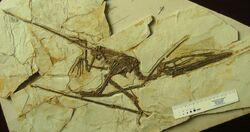 Darwinopterus robustodens