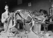 Norman ross brachyceratops mount-1