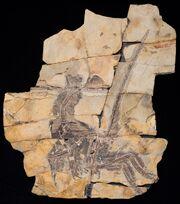 Serikornis fossil