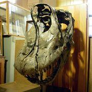 Brachiosaurus skull 02