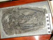 Dimorphodon macronyx specimen NHUK PV R 1035