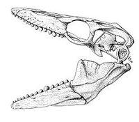 Globidens dakotensis skull