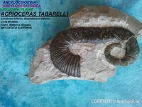 ACRIOCERAS TABARELLI
