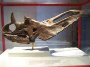 Chasmosaurus ROM 839
