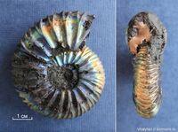 Virgatites pallasianus с перламутром