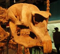 Дипротодон череп