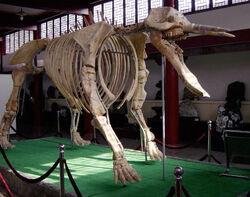 Платибелодон скелет