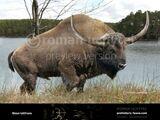 Широколобый бизон
