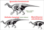 Iguanodontid Skeletal Comparisons