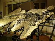 Tethyshadros fossil