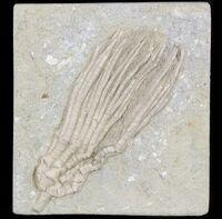 Abrotocrinus unicus 2