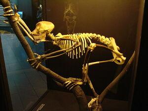 Скелет проконсула