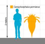 Campylocephalus Scale