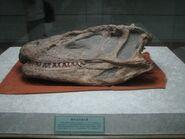 Yangchuanosaurusskull
