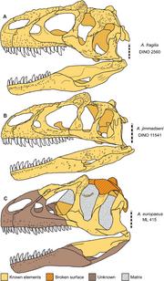 Skulls of Allosaurus (Daniel J. Chure & Mark A. Loewen, 2020)