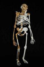 Австралопитек седиба скелет
