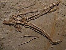 0Cycnorhamphus suevicus 784