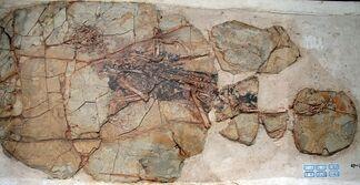 1280px-Xiaotingia fossil