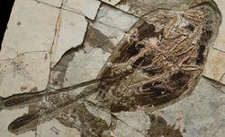 Confuciusornis fossil 03