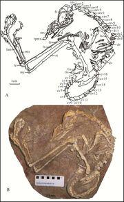 Liaoningvenator fossil