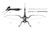 Pterodactylus-skelet-m
