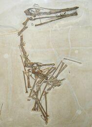 Pterodactylus longicollum