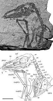 Austriadactylus fossil