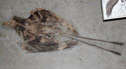 Confuciusornis fossil 04