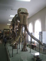 Mammuthus meridionalis in a museum of Stavropol (1 skeleton)