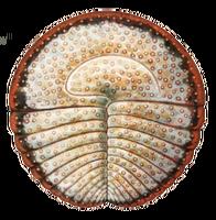 Археаспинус 2