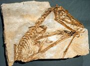1Scaphognathus crassirostris cast - Pterosaurs Flight in the Age of Dinosaurs