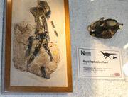 Hypsilophodon fossil