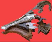 Amurosaurus skull