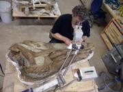 Edmontosaurus skull 03