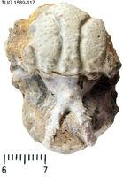 Hoplolichas conicotuberculatus
