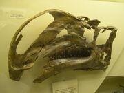 Altirhinus skull 02