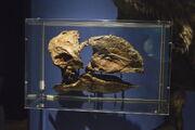 Gastornis skull by sabreleopard-dagugv7