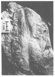 Paleoplatoda
