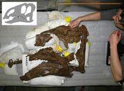 Probrachylophosaurus fossil