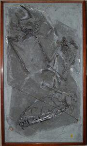 Dimorphodon macronyx specimen NHMUK PV R 41212